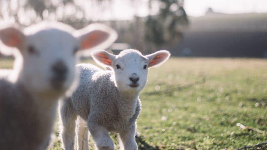 Lambs H1